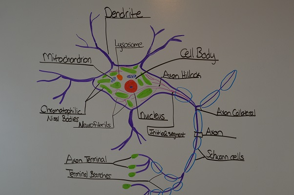 Study Notes for Anatomy & Physiology Neuron Structure & Function