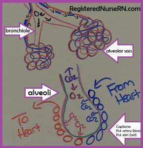 alveoli sac