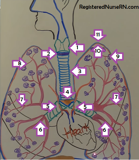 lung-anatomy-physiology