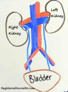 right kidney, left kidney, right kidney lower than left, kidney anatomy