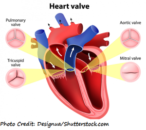 heart valves heart sounds, s2, s1