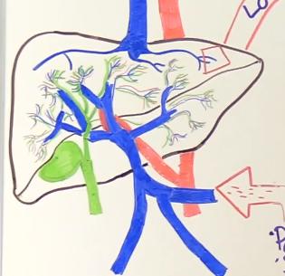 liver anatomy, blood flow
