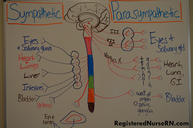 sympathetic vs parasympathetic nervous system includes