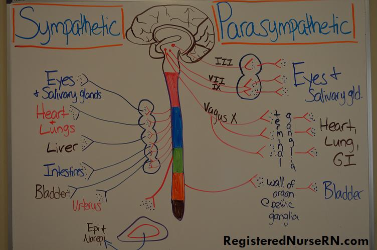 sympathetic, parasympathetic, nervous system, pharmacology