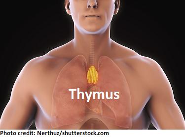 thymus gland, myasthenia gravis, nursing, nclex
