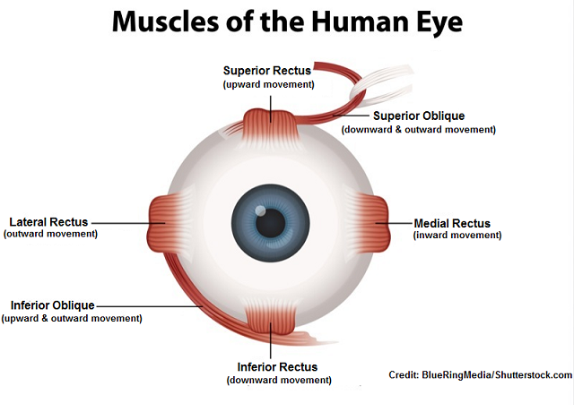 six eye muscles, function, six cardinal fields of gaze, nursing