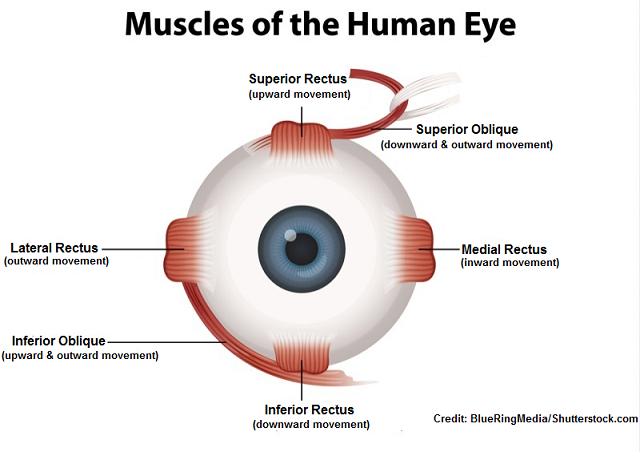 six eye muscles, function, six cardinal fields of gaze, nursing