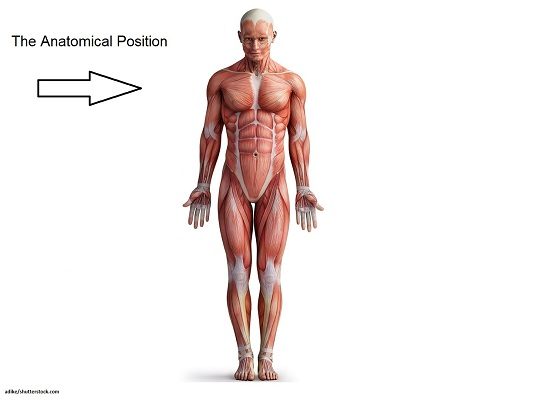 anatomical position, anatomy position, anatomy body, muscles
