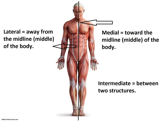 lateral, medial, intermediate, directional terms