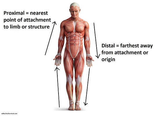 proximal and distal, directional terms, anatomy