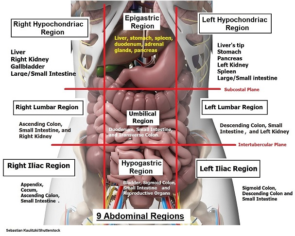 organs in nine abdominal regions, anatomy, nursing school