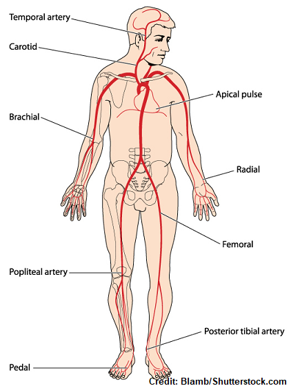 pulse sites, nursing, radial, brachial, popliteal, femoral, temporal, dorsalis pedis, posterior tibial, apical