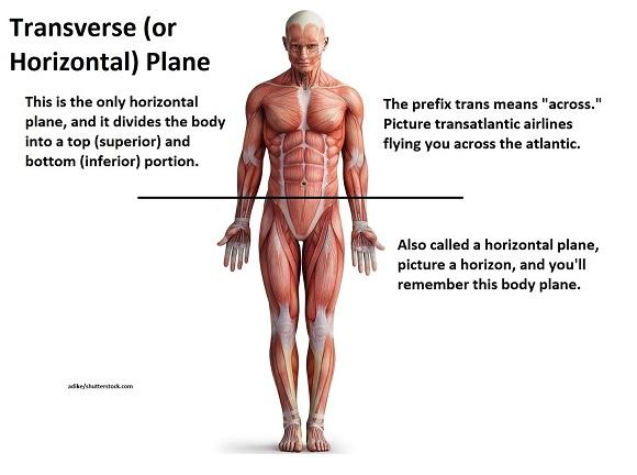 transverse plane, horizontal plane, axial plane, anatomy, nursing school