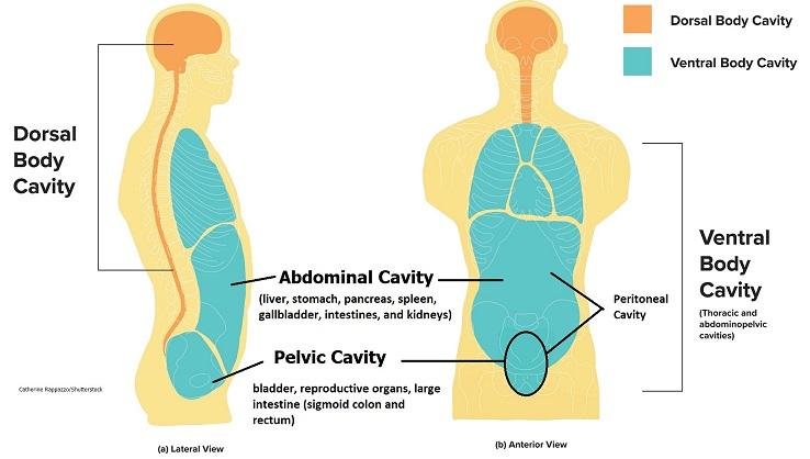abdominopelvic cavity, abdominal cavity, pelvic cavity, peritoneal cavity