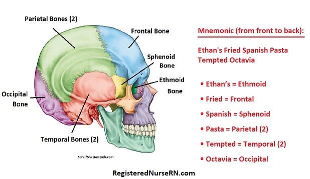 cranial bones, cranial bones mnemonic,cranial bones song, anatomy, nursing school, skull bones