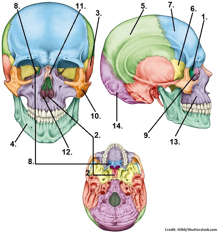 skull bones, cranial, facial, quiz, questions, anatomy, physiology