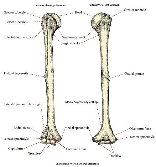 humerus,humerus anatomy,humerus bone,nursing school,anatomy