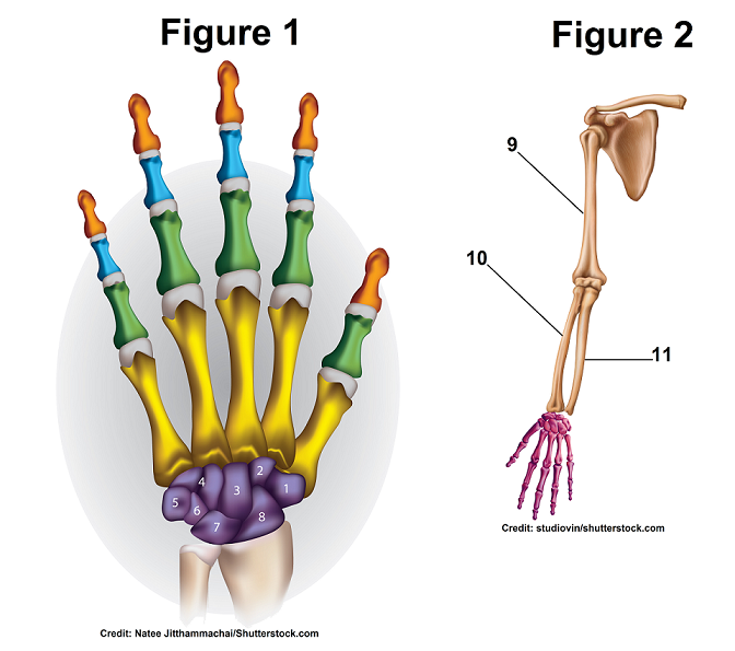 Hand and Wrist Bones for Anatomy Quiz