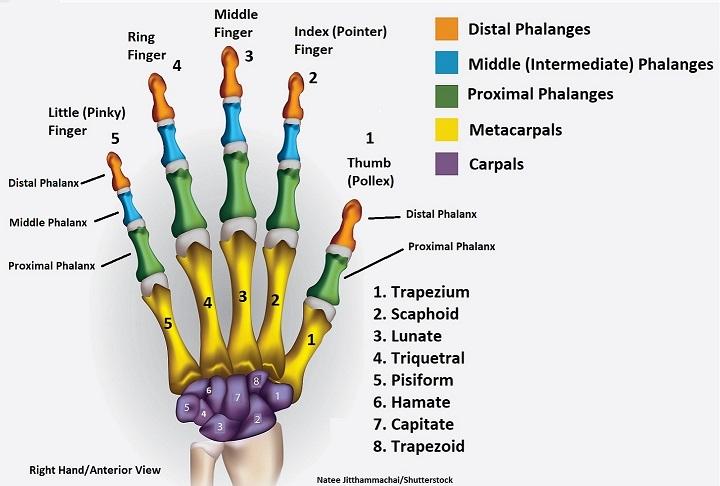 hand bones, wrist bones, hand anatomy, wrist anatomy, anatomy and physiology, metacarpals, carpals,