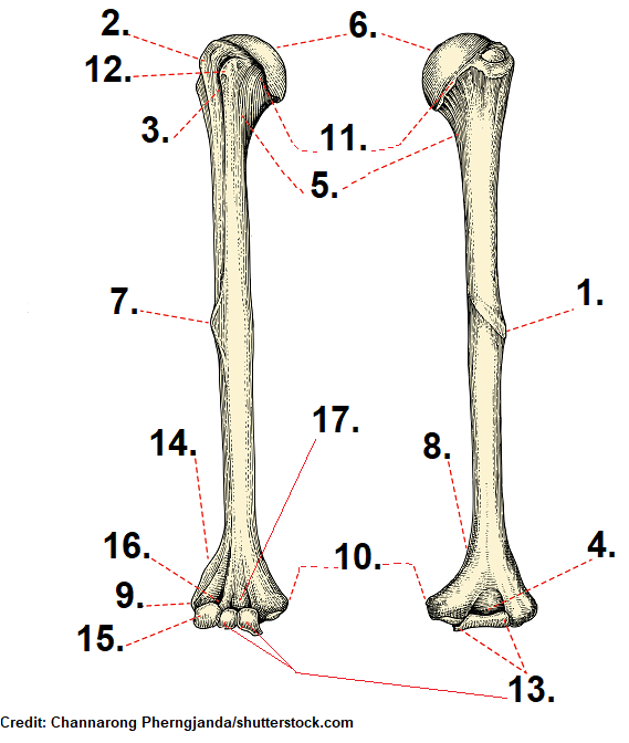 humerus bone quiz, questions, anatomy, unmarked, blank