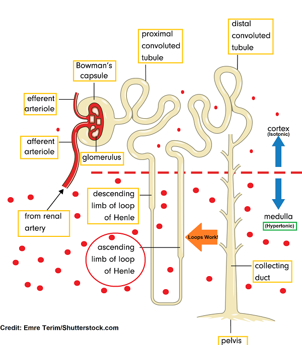nephron anatomy, loop diuretics, pharmacology, mechanism of action