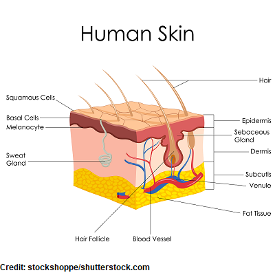 anatomy skin, skin cancer, nclex, nursing