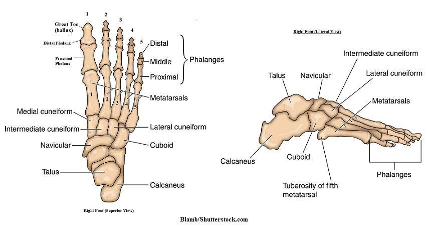 Foot bones anatomy, foot bones, tarsals,metatarsals,phalanges, calcaneus,talus,navicular,cuneiforms,cuboid