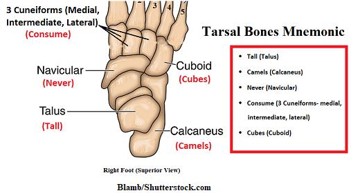Tarsal mnemonic,foot bones mnemonic, tarsus
