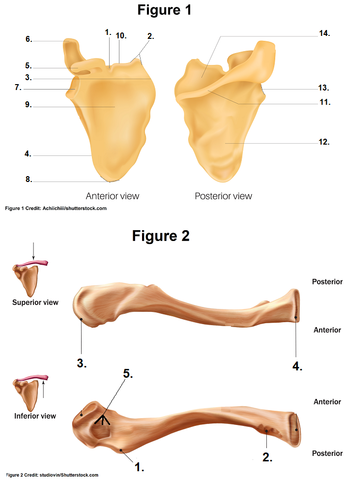 Clavicle and Scapula Quiz