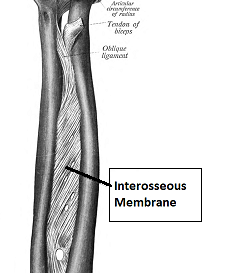 interosseous membrane, forearm connective tissue, forearm anatomy