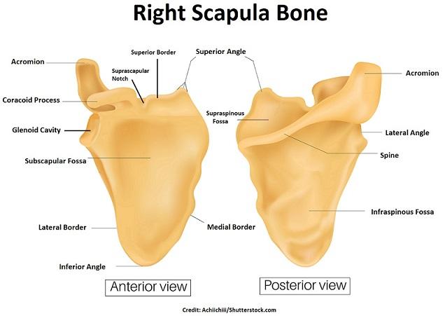 scapula, scapula anatomy, scapula bone, pectoral girdle