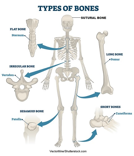 bone types, types of bones,types of bone anatomy, classification of bones, list of bones