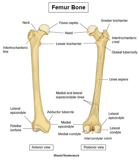 Knee Bone Structure Diagram