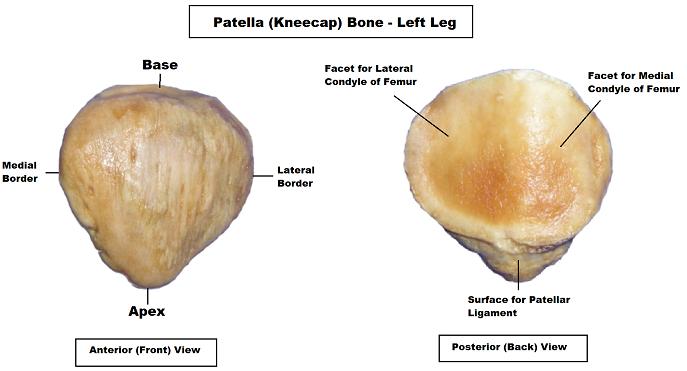 patella,patella anatomy, patella bone, patella diagram, patella video