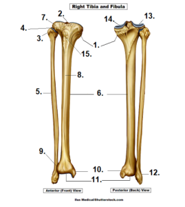 tibia, fibula, anatomy, quiz, unlabeled