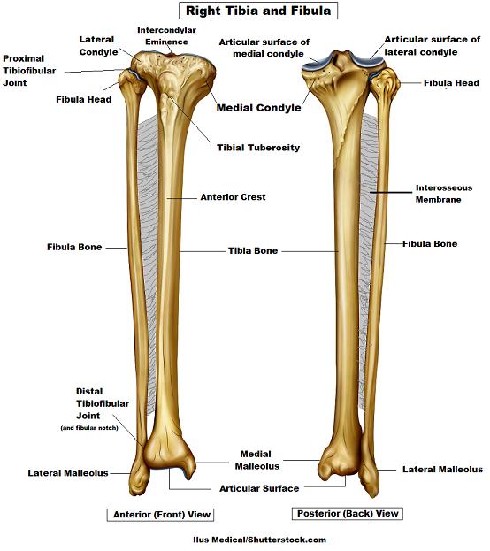 Tibia And Fibula Bone Anatomy