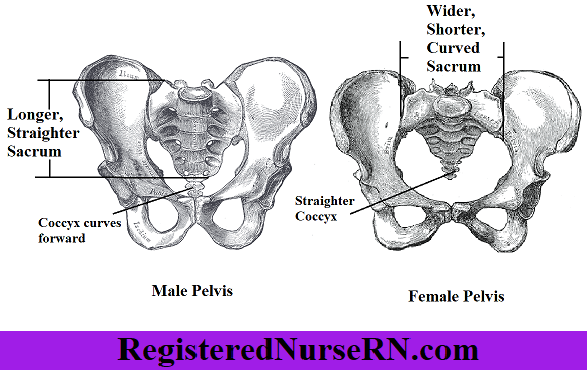 male sacrum, female sacrum, male vs female, pelvis