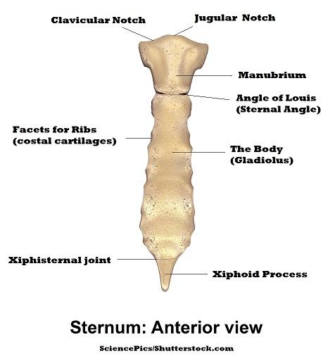 sternum anatomy, manubrium, gladiolus,xiphoid process, jugular notch, clavicular notch