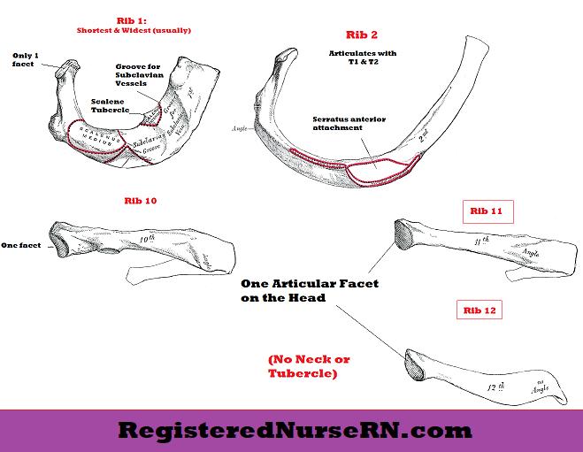 typical ribs, atypical ribs, anatomy, rib anatomy, rib bones, anatomy