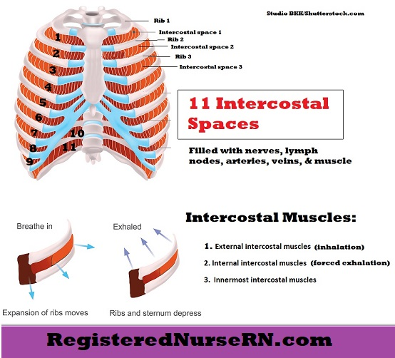 intercostal space, intercostal muscles, intercostal spaces numbered