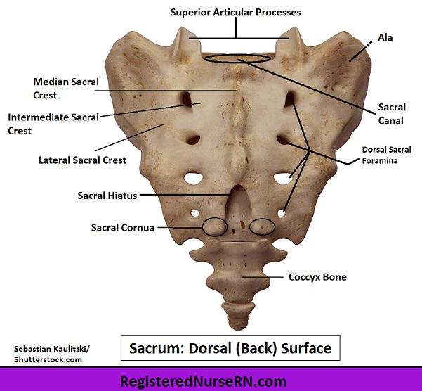 sacrum, sacrum anatomy, dorsal surface, sacrum image, sacrum bone, anatomy