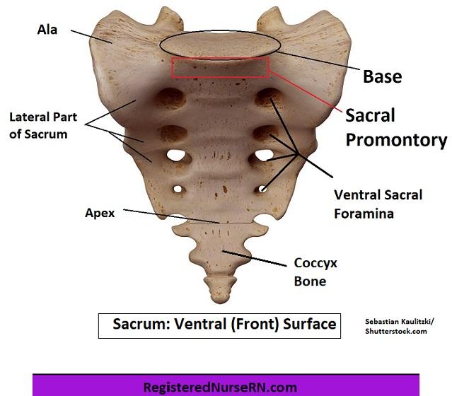 sacrum anatomy, sacral promontory, ventral surface, apex, ala