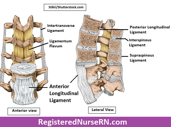 vertebral column ligaments, anterior longitudinal ligament, posterior longitudinal ligament, interspinous, supraspinous, intertansverse, ligamentum flavum