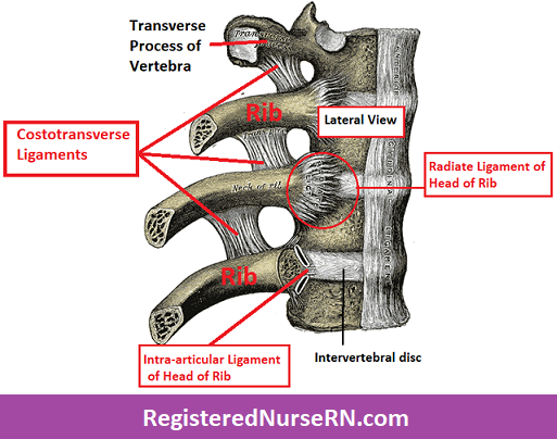 costotransverse ligament, radiate ligament of head of rib, intra-articular ligament of head of rib,