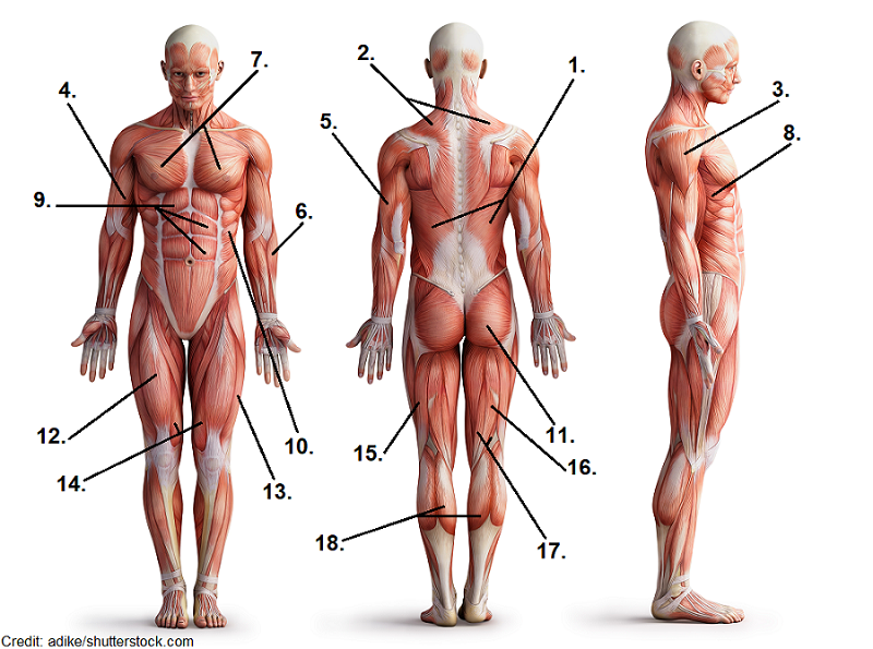 muscle quiz, anatomy, labeling, major muscles