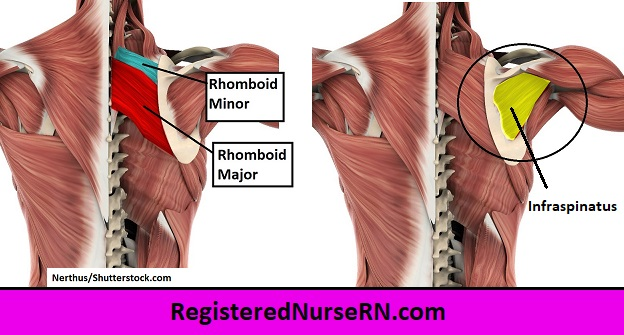 infraspinatus, rhomboid major,rhomboid minor, shoulder muscles, back muscles, muscle song,anatomy