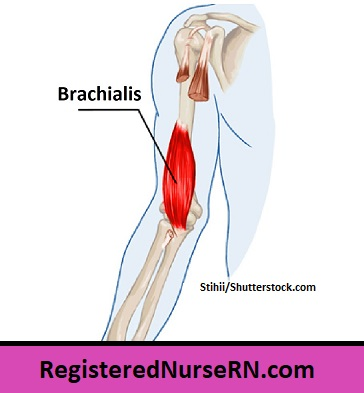 brachialis, brachialis muscle, arm muscles, muscle song, anatomy