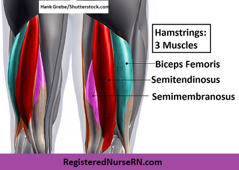 hamstrings, biceps femoris, semitendinosus,semimembranosus, muscle song