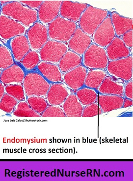 endomysium,skeletal muscle connective tissue, cardiac muscle, anatomy