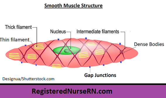 smooth muscle tissue,smooth muscle cell,smooth muscle anatomy, intermediate filaments, myosin, actin, dense bodies, gap junctions